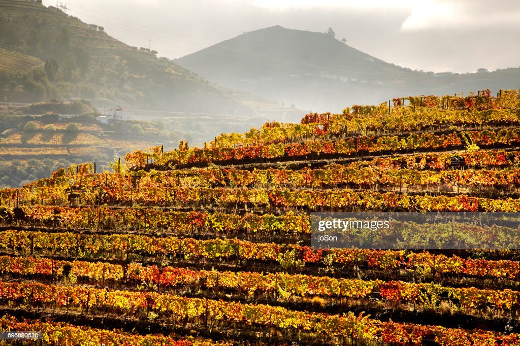 Terraced vineyards and river in Douro Valley, Portugal : Stock Photo