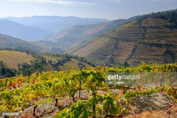 terraced vineyards and rolling hills of douro valley - douro valley stock photos and pictures