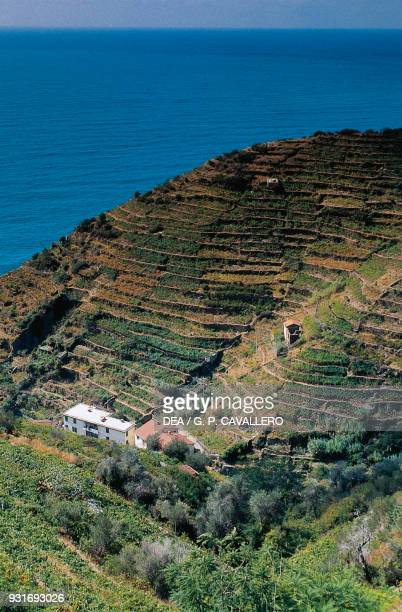 Terracedvineyards Riomaggiore Cinque Terre Liguria Italy