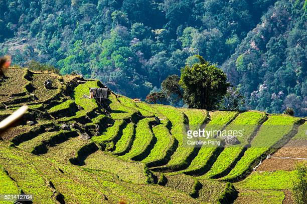Terraces of farmland in the central of Bhutan.
