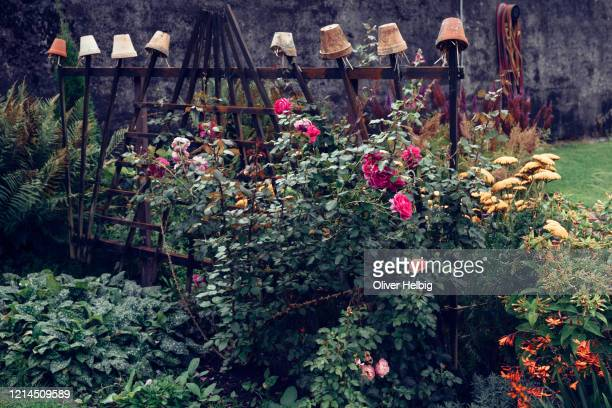 terracotta flower pots as an earwig trap surrounded by a beautiful rose hedge in a garden - red roses garden stock pictures, royalty-free photos & images