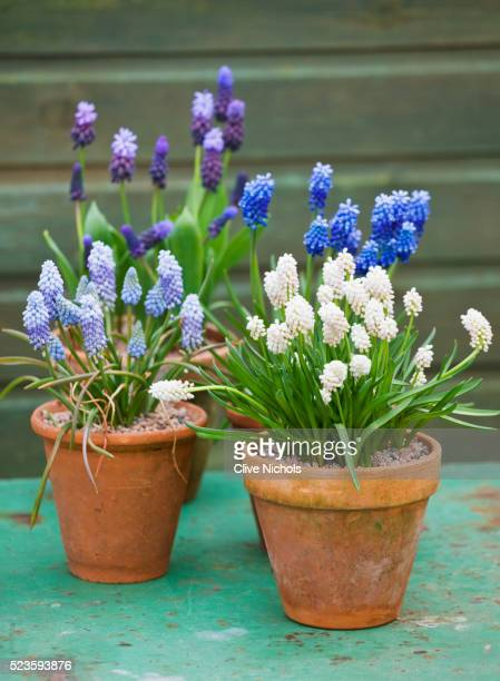 terracotta pots of grape hyacinth - grape hyacinth stock pictures, royalty-free photos & images