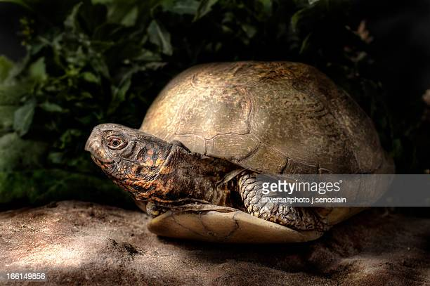 terrapene carolina 2 - box turtle stock pictures, royalty-free photos & images