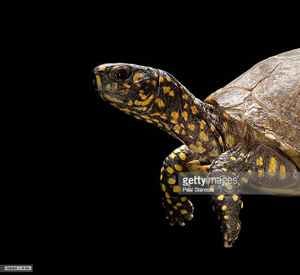 terrapene carolina (florida box turtle) - box turtle stock pictures, royalty-free photos & images