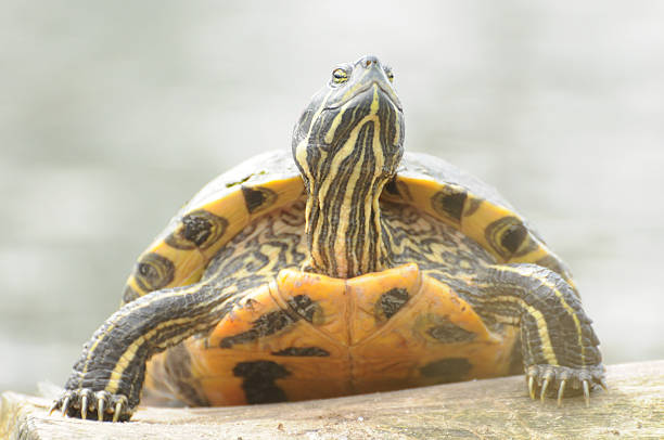Terrapin turtle in sunshine