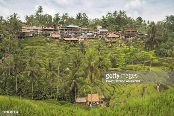 terrazas de arroz en tegalalang, bali - rice terrace stockfoto's en -beelden