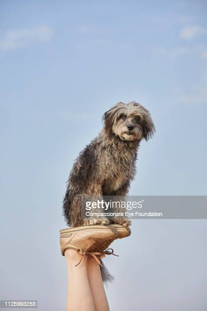 terrier balancing on woman's feet on beach - gray shoe stock pictures, royalty-free photos & images