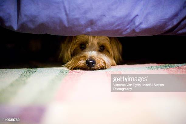 terrier dog hiding under a bed. - vanessa van ryzin stockfoto's en -beelden
