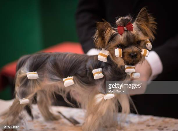 Terrier dog is prepared to be shown on the second day of Crufts Dog Show at the NEC Arena on March 10, 2017 in Birmingham, England. First held in...