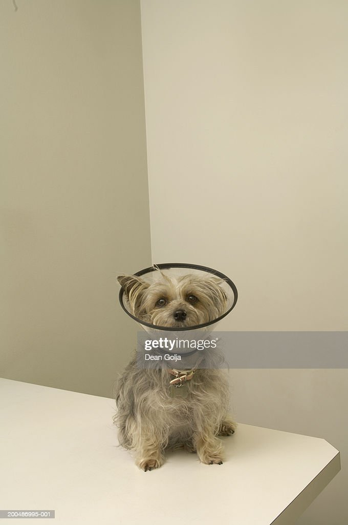 Terrier dog wearing protective collar, close-up : Stock Photo
