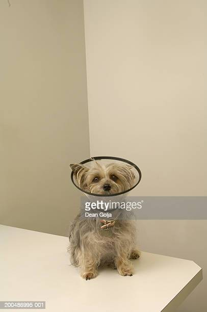 terrier dog wearing protective collar, close-up - elizabethan collar stock photos and pictures