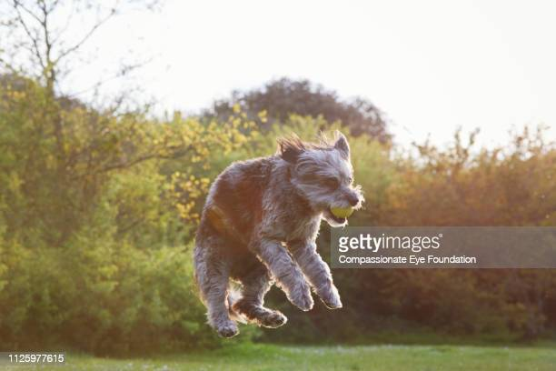 Terrier jumping for ball in park at sunset