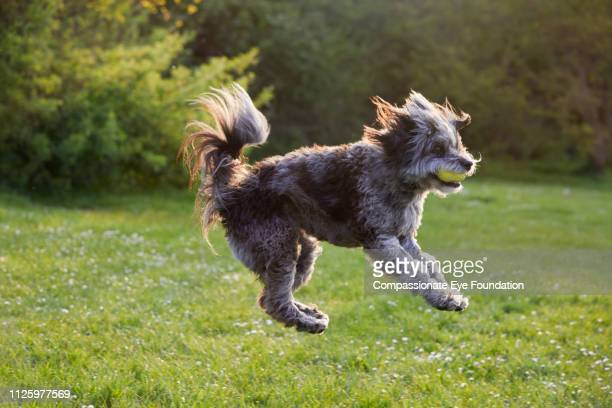 Terrier jumping for ball in park