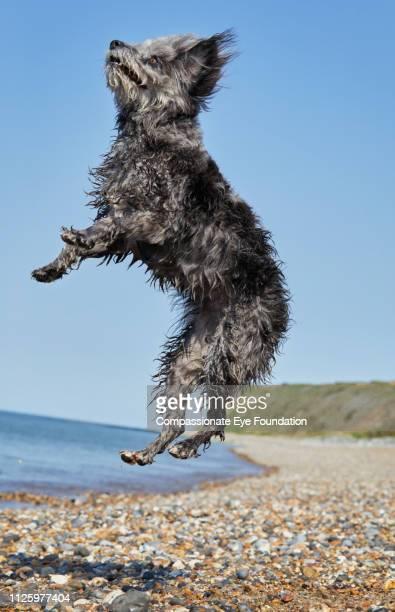 Terrier jumping on beach