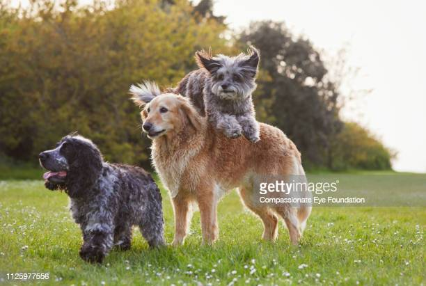Terrier jumping over Golden Retriever in park with Spaniel
