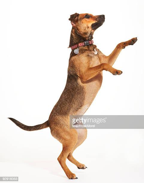 Terrier mix jumping up on two legs