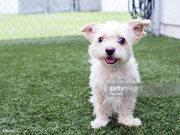 Terrier mix puppy smiling on grass