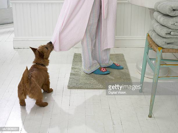Terrier Pulls at a Woman's Dressing Gown With its Teeth