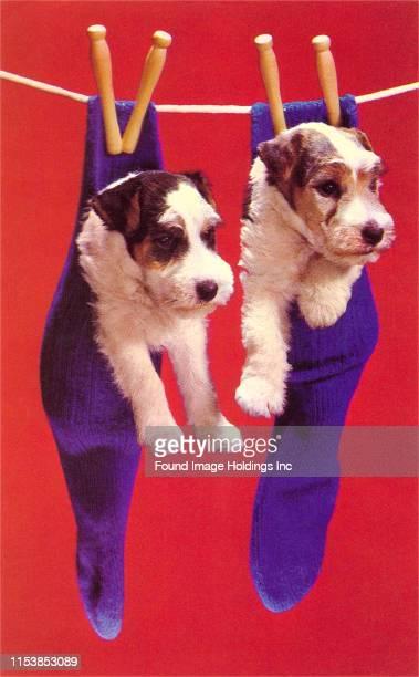 Terrier Puppies in Socks