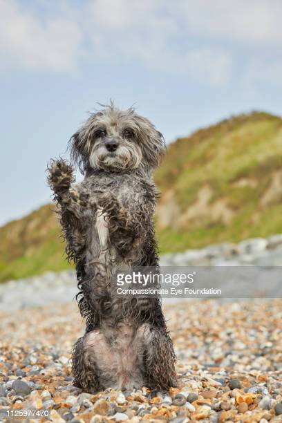 Terrier sitting with paws up on beach