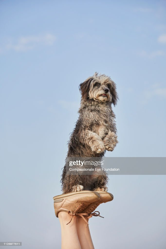 Terrier with raised paws balancing on woman's feet on beach : Stock Photo
