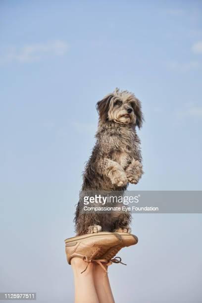 terrier with raised paws balancing on woman's feet on beach - perna humana - fotografias e filmes do acervo