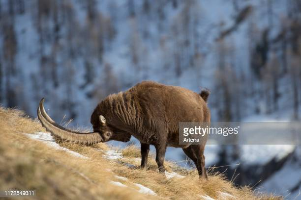 Territorial male Alpine ibex scent marking his territory during the rut in winter, Gran Paradiso National Park, Italian Alps, Italy.