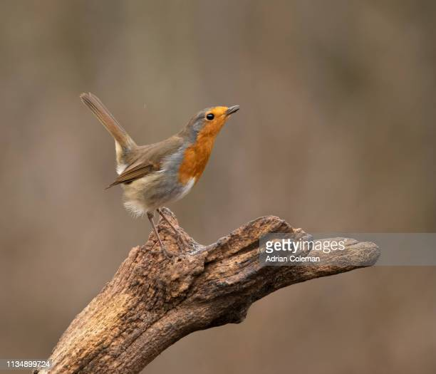 territorial robin - songbird stock pictures, royalty-free photos & images