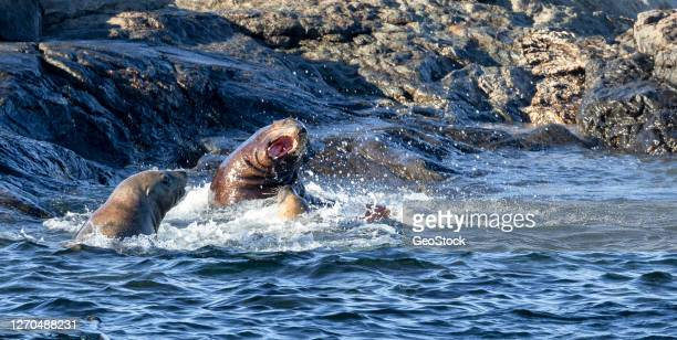 territorial sea lions pick a fight with a newcomer - manly wilder stock-fotos und bilder
