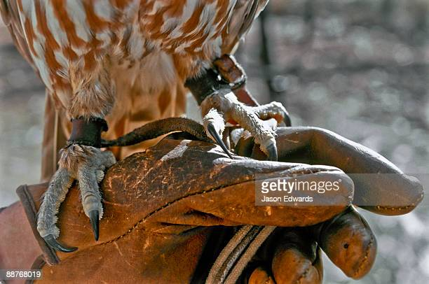 Protective glove holds the menacing talons of a tethered Barking Owl.