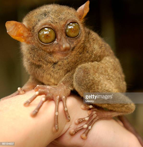 tersier rare animal philippines - animal finger stock photos and pictures