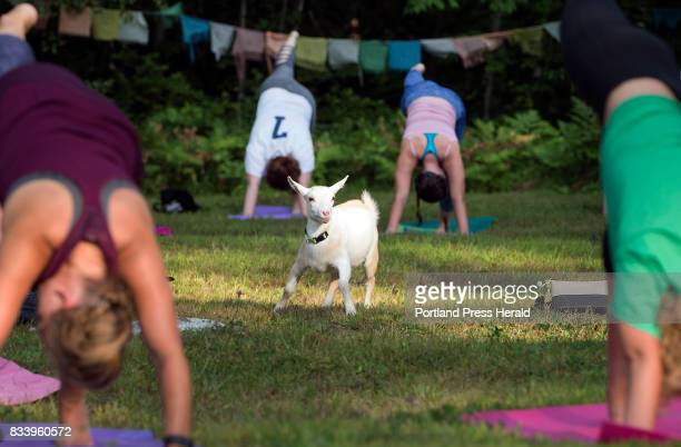 Tess a 4monthold Nigerian dwarf goat frolics among yoga students durina a recent session at Sunflower Farm in Cumberland Later the students convened...