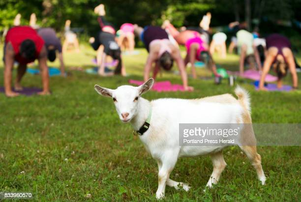 Tess a 4monthold Nigerian dwarf goat strolls a field during a recent yoga session at Sunflower Farm in Cumberland Two kids grazed and occassionally...