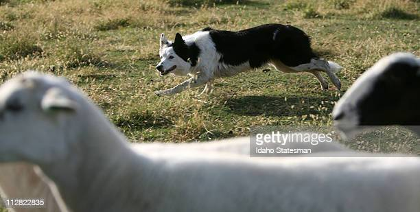 Tess a sixyearold Border Collie Sheepdog works a herd of sheep as her owner Lavon Calzacorta calls out whistle commands on their farm near Wilder...