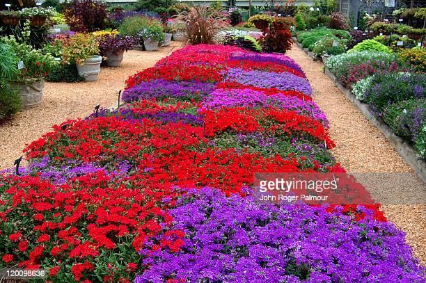 testing verbena at horticulture gardens - ジョージア州 アセンズ ストックフォトと画像