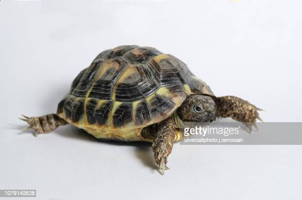 testudo hermanni hermanni baby - exotic pets stock pictures, royalty-free photos & images