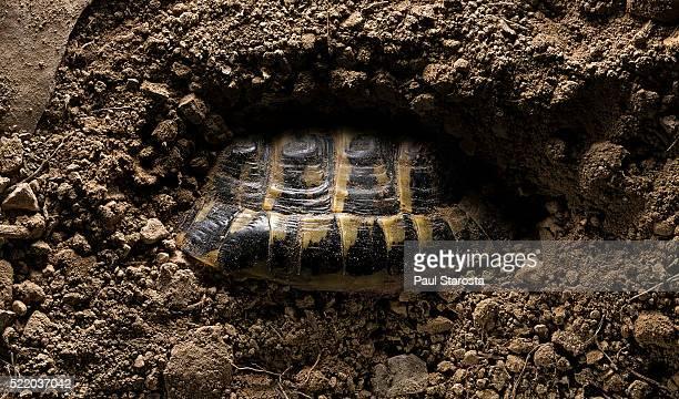 testudo hermanni (western hermann's tortoise) - hibernating in the ground - 冬眠 ストックフォトと画像