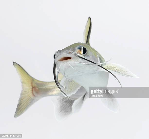 tete sea catfish (hexanematichthys seemanni) - catfish stock pictures, royalty-free photos & images