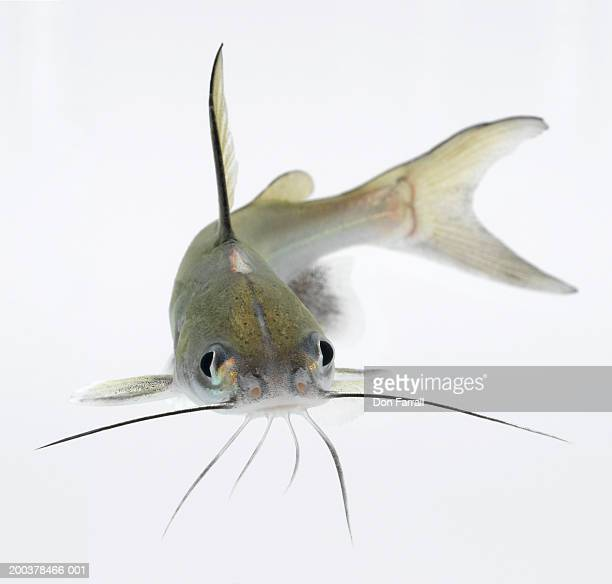Tete sea catfish (Hexanematichthys seemanni)