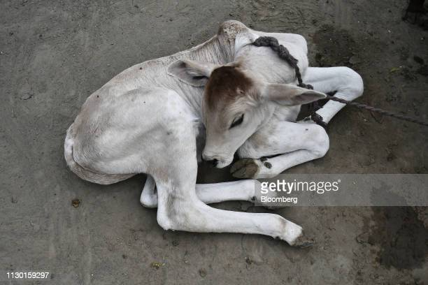 A tethered calf sits on the ground at a cow shelter in Aligarh Uttar Pradesh India on Tuesday Feb 19 2019 A clampdown by Prime Minister Narendra Modi...