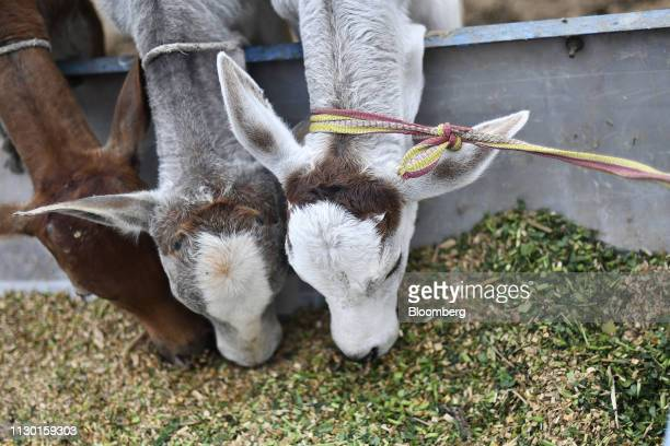 Tethered calves feed from a trough at a cow shelter in Aligarh Uttar Pradesh India on Tuesday Feb 19 2019 A clampdown by Prime Minister Narendra Modi...