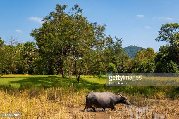 a tethered water buffalo, cambodia - peter adams stock pictures, royalty-free photos & images