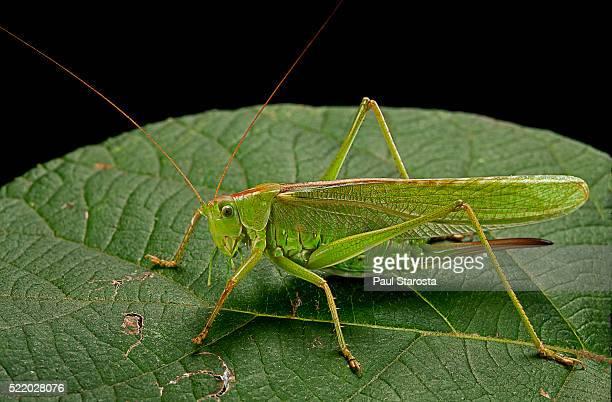tettigonia viridissima (great green bush-cricket) - female - cricket insect photos stock pictures, royalty-free photos & images