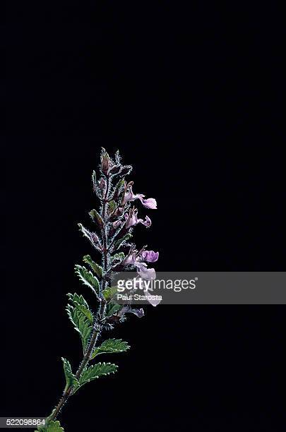 teucrium chamaedrys (wall germander, midget) - midget stock pictures, royalty-free photos & images