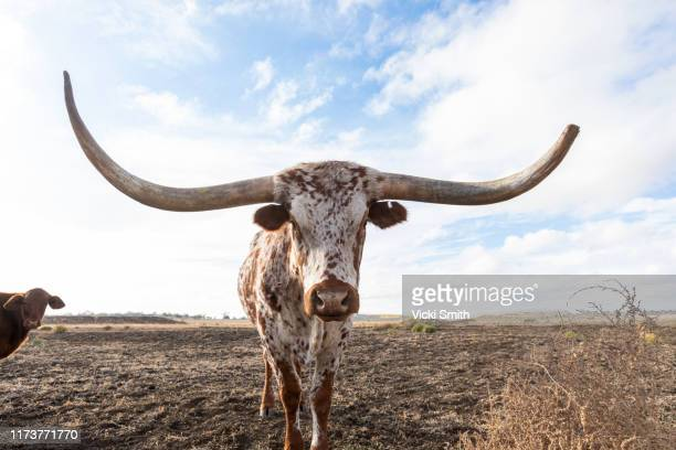 texan longhorn  beef cattle - texas longhorns stock pictures, royalty-free photos & images