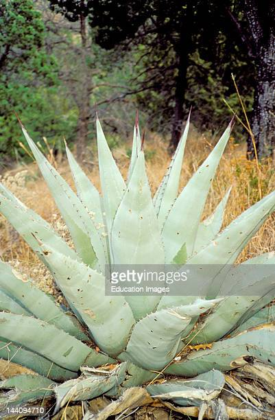 Texas, Big Bend National Park, Agave Cactus In The Chisos Mountains.