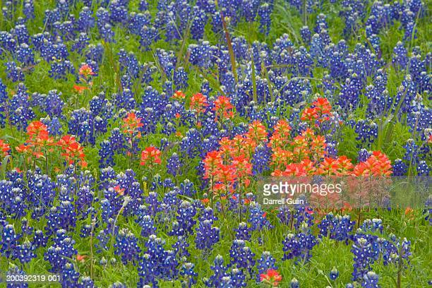 texas blue bonnets and great plains paintbrushes blooming - texas bluebonnet stock pictures, royalty-free photos & images
