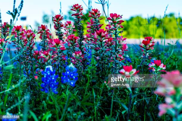 texas blue bonnets and indian paintbrush wildflowers along a texas highway. - texas bluebonnet stock pictures, royalty-free photos & images