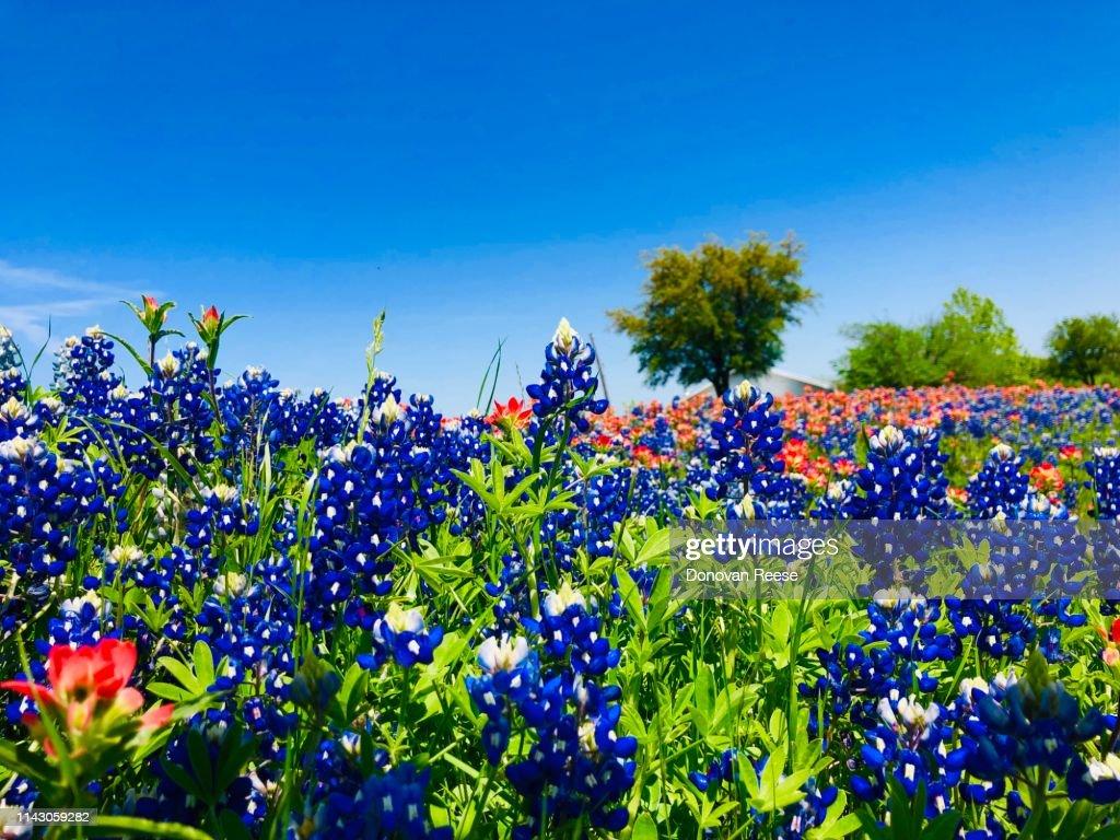 Texas Bluebonnet Trail Ennis Texas High Res Stock Photo Getty Images