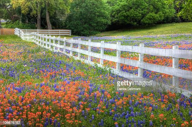 Texas bluebonnets(Lupinus texensis) and paintbrush(Castilleja foliolosa) growing along white fenceline, Texas, USA, North America